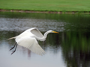 A great white Herron flies over the pond on the 15th hole